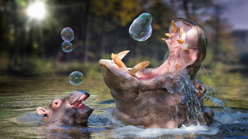 1. Бегемот. животные, опасные животные