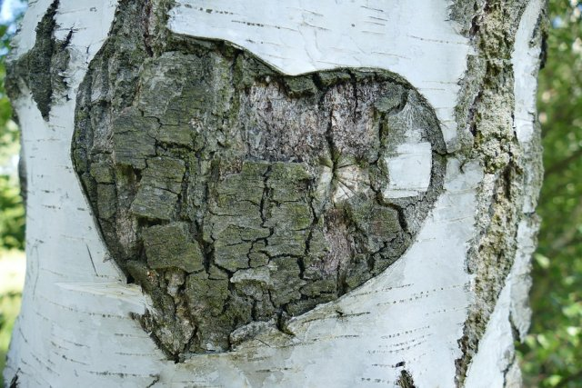 Tree Heart Birch Promise Old Love Bark
