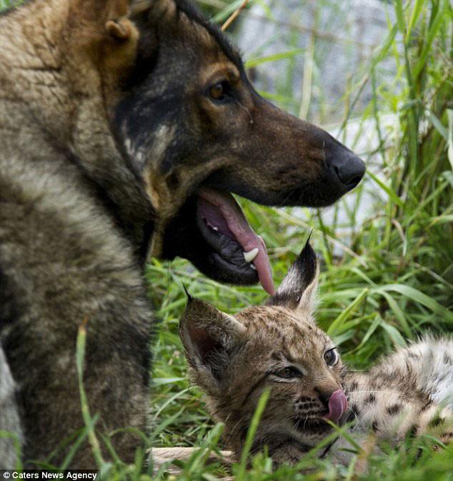 Необычные друзья – рысята и немецкая овчарка