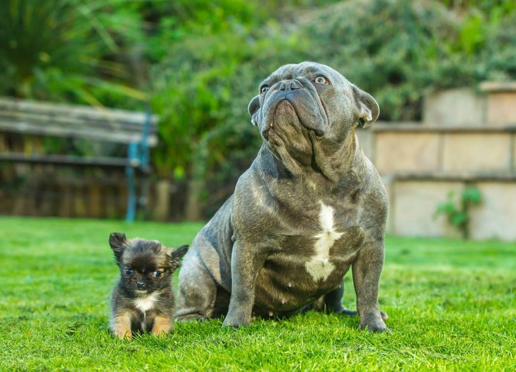 Самая маленькая собака Великобритании считает себя котенком животные, котенок, собака