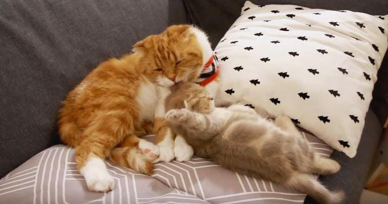 Папа-кот опекает и ухаживает…