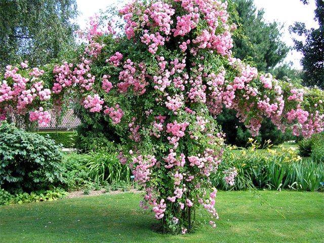 Черенкуем плетистые розы