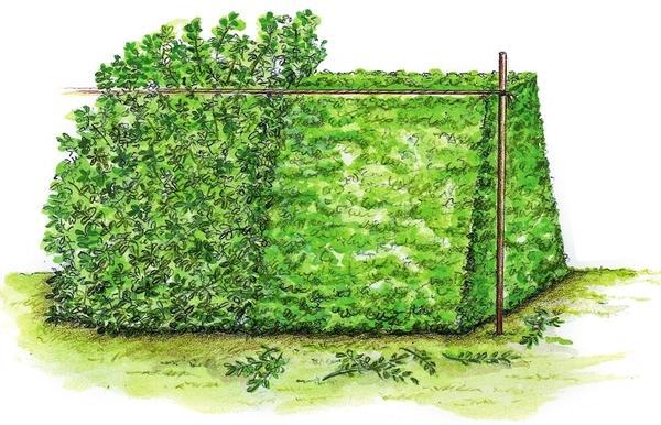 Трапециевидная форма считается оптимальной для живой изгороди