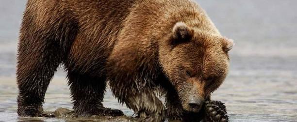Медвежья желчь
