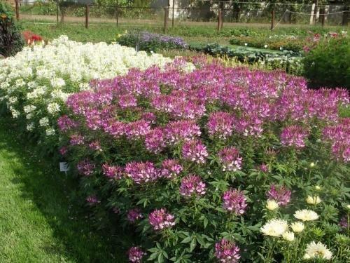 Сад, цветник и огород. Клеома, цветок-паук