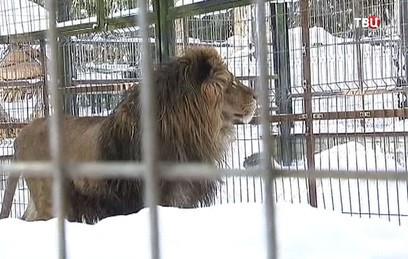Полиция изъяла у москвича львенка из-за незаконных фотосессий