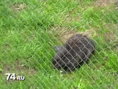 В Усть-Катавске спасали бобра (видео)