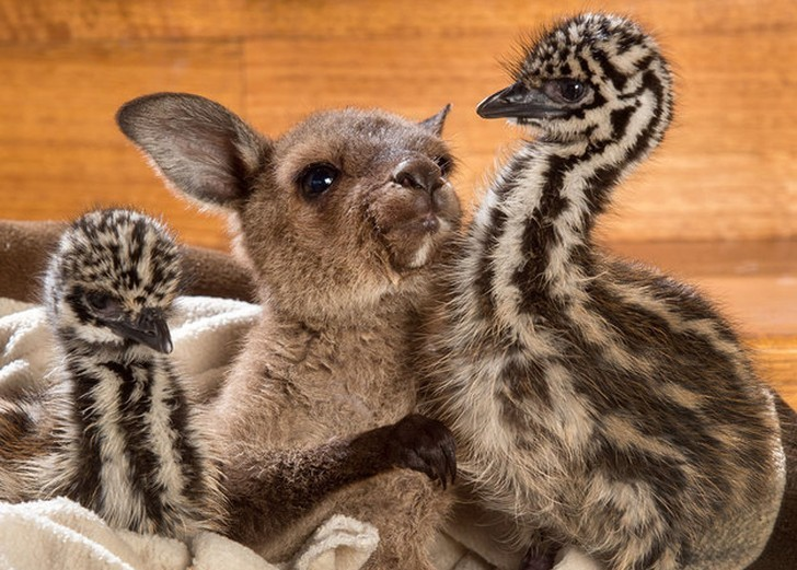 Эти ласкающиеся страусята и кенгуренок заставят вас плакать от умиления!