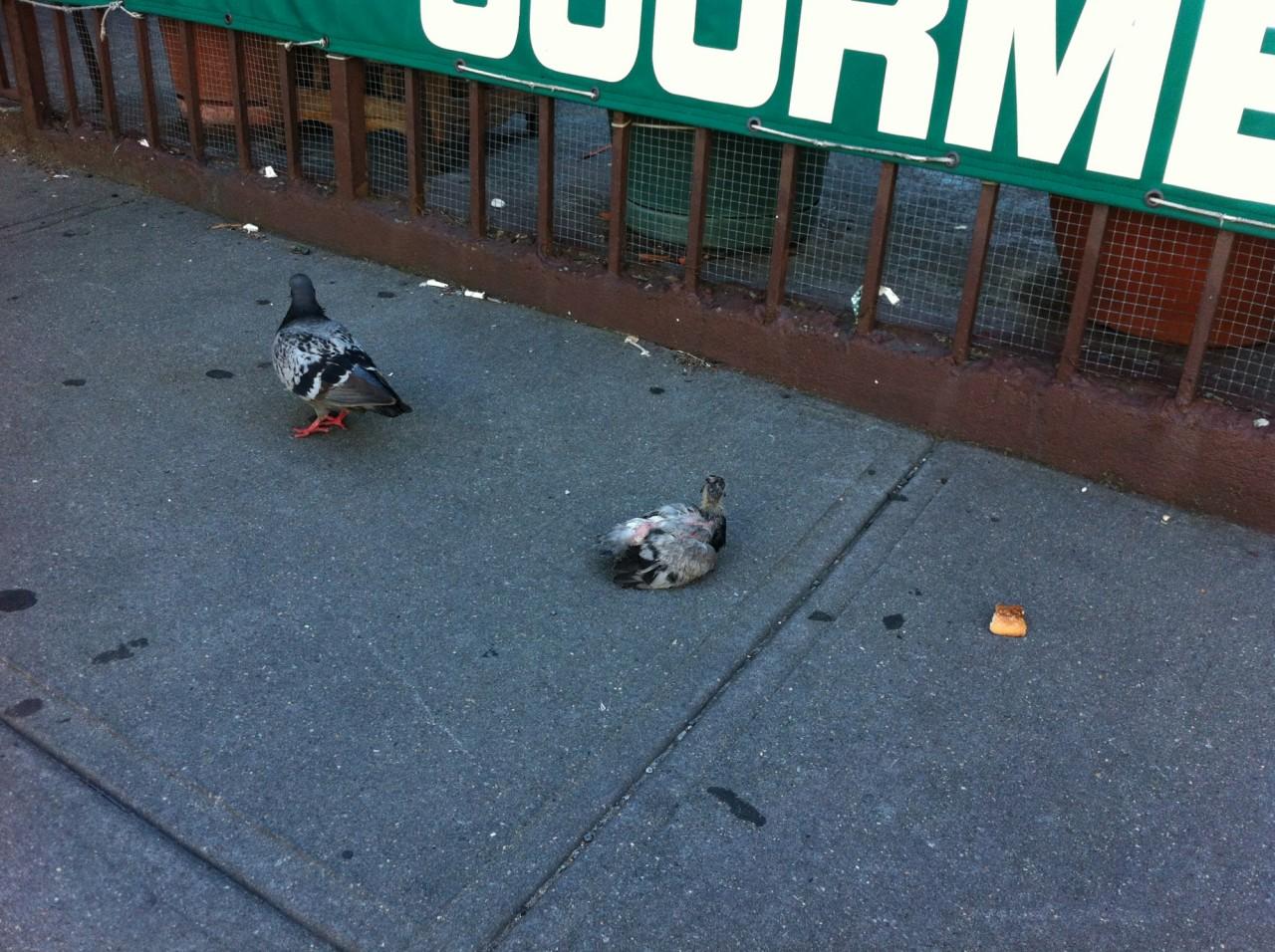 Почему жители городов никогда не видят птенцов голубей голубь, интересное, птицы