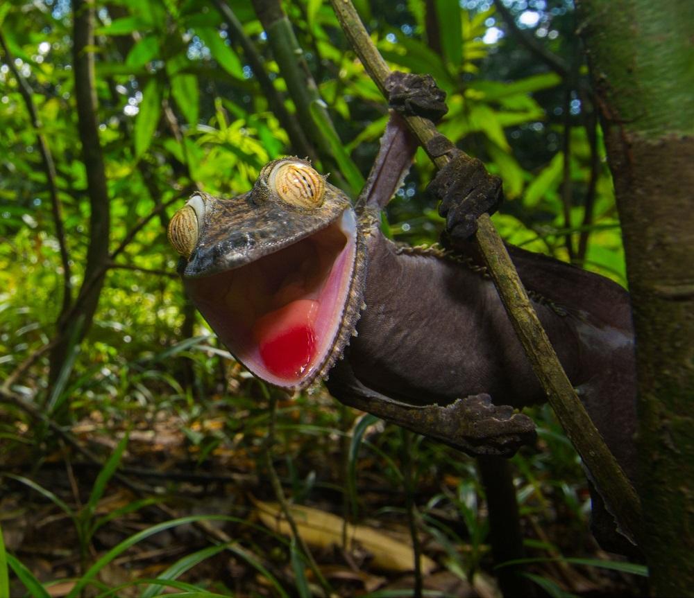 Ухмыляющийся геккон — мастер камуфляжа