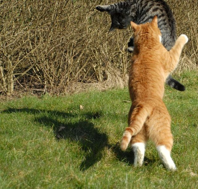 cat_flying_fight_06