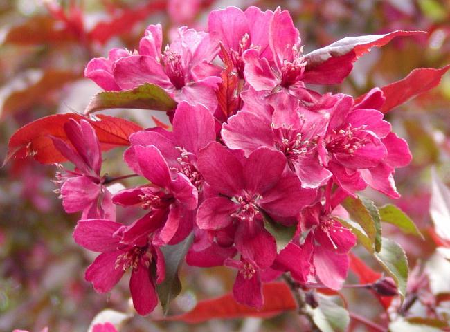 Декоративные яблони для украшения участка