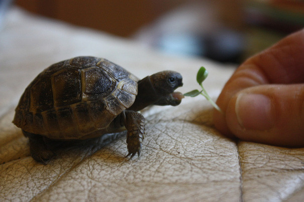 25. Миниатюрная черепаха ниндзя, питомцы, черепахи
