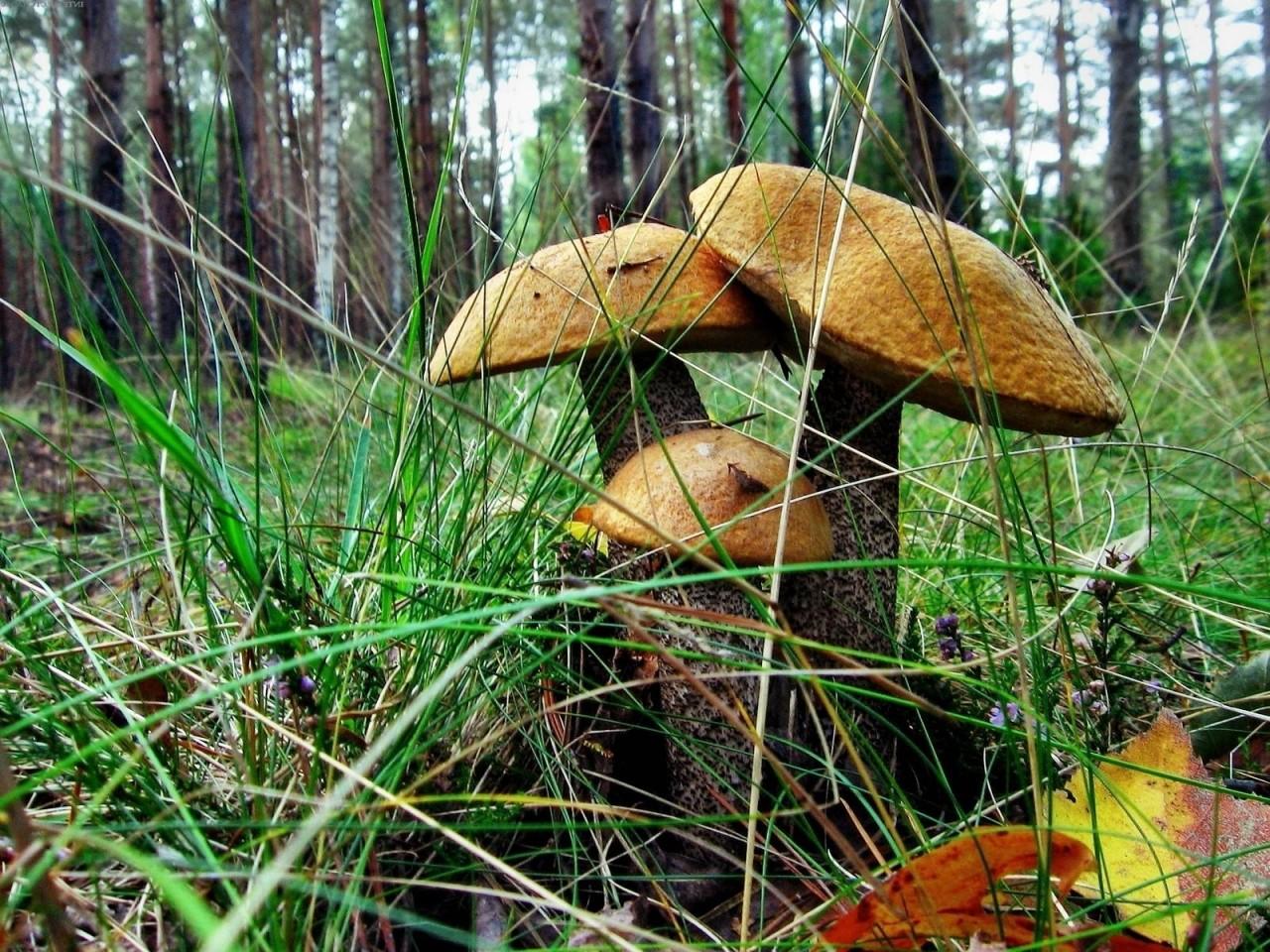 Фото съедобных грибов воронежа 6