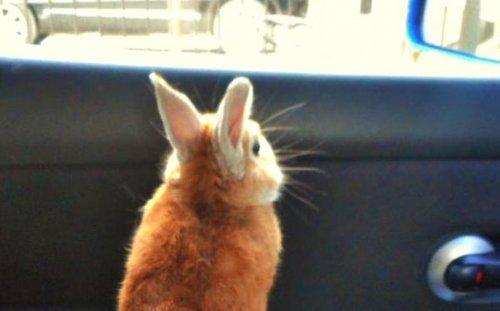 Кролик Корон, которому извес…
