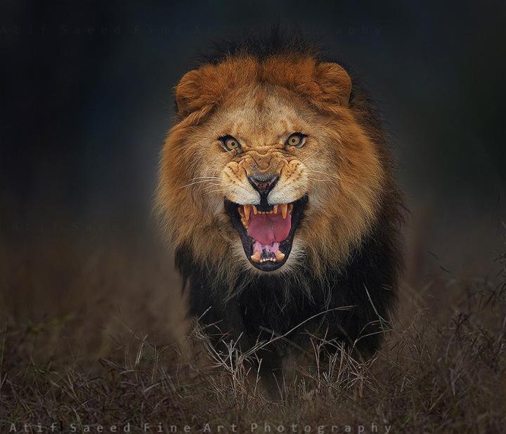 Фотограф снял разъярённого льва за мгновение до нападения
