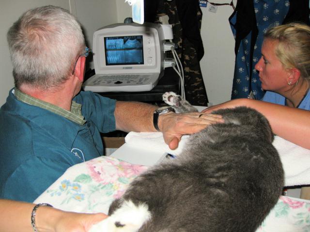 ultrasound diagnostics cat