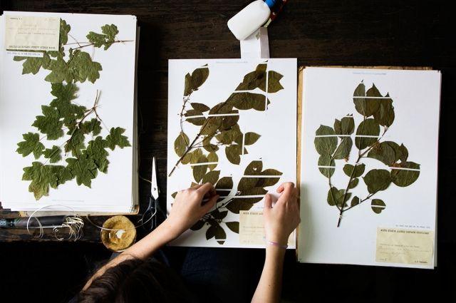 В Гербарии МГУ оцифровали коллекцию из более 1 млн образцов