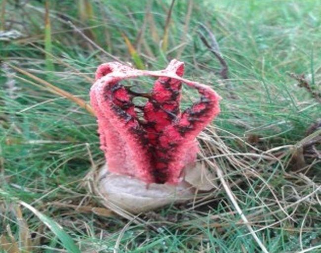 Интересный гриб Антурус Арчера или «пальцы дьявола»