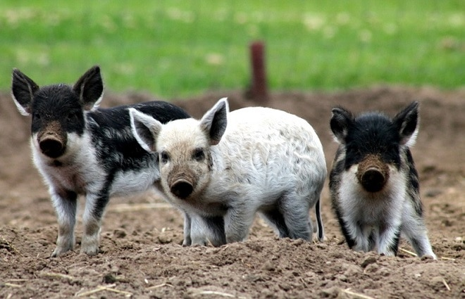 «Овечка? Да нет же, поросенок!»: мужчина выращивает уникальных свиней, покрытых кудрявой шерстью!