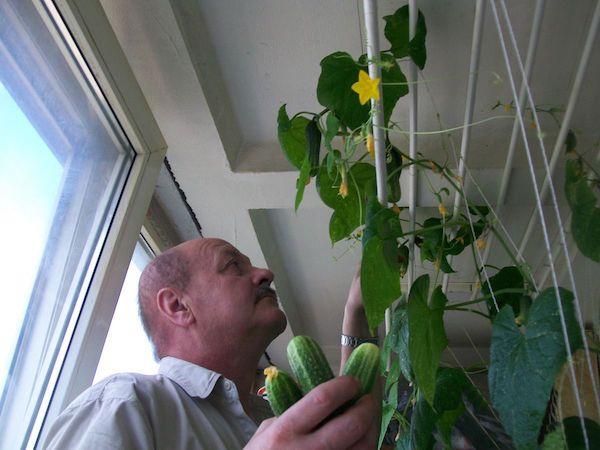 Огурец выращивание в дома