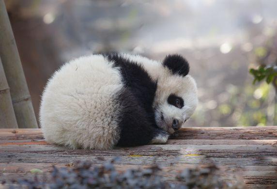 Китайский зоопарк показал, как будят панду