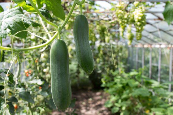 Растения в теплице могут испытывать недостаток углекислого газа