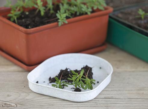бархатцы, выращивание рассады, сеянцы перед пикировкой
