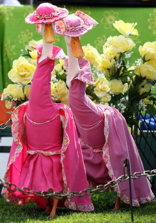 НЕЧТО. Утки на показе мод в Сиднее, Австралия