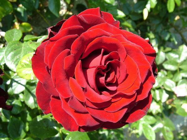 Розы из букета - возможно ли это? Мастер класс