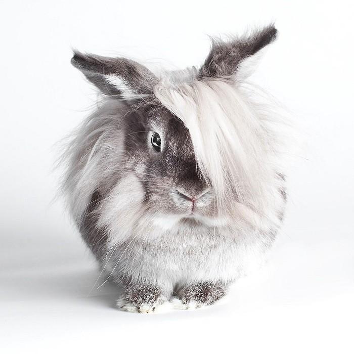 Декоративные карликовые львиноголовые кролики