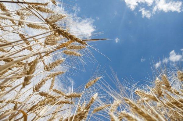Не нефтью единой богаты: Россия накормит пшеницей весь мир