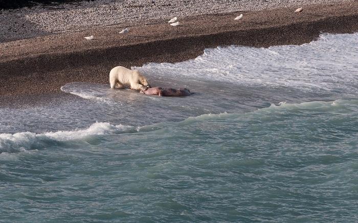 Как медведи тушу моржа делили