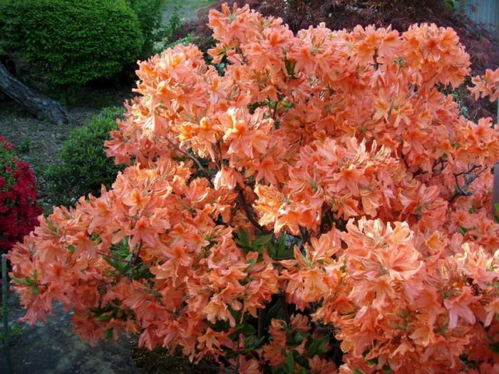 Рододендрон садовый вечнозеленый посадка и уход