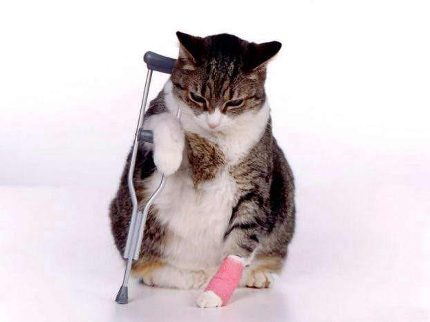 Кошка порезала лапу, что делать