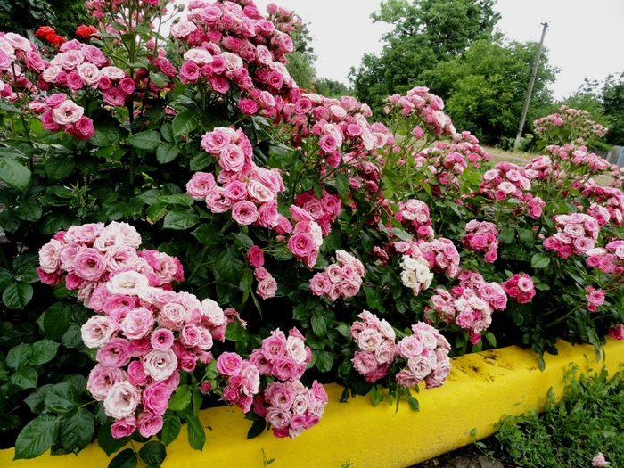 Все, что необходимо знать о бордюрных розах