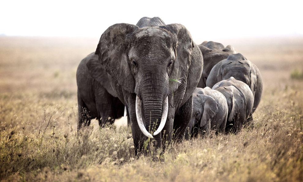 Стадо слонов, Африка