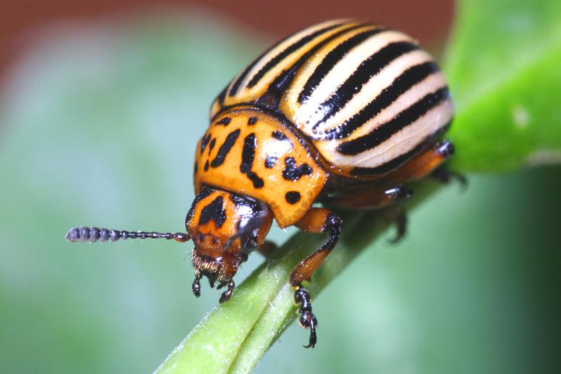 Фотогалерея МакроКлуба - Жуки и их личинки