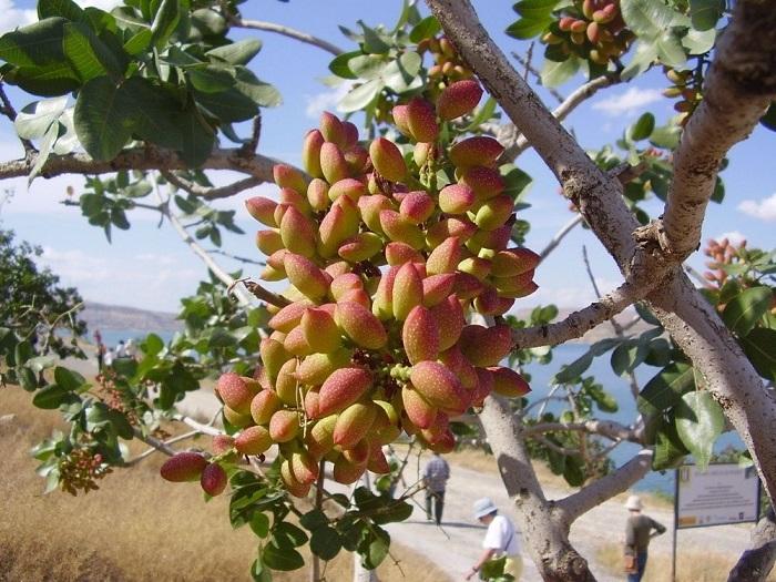 Одно из самых почитаемых растений Востока.