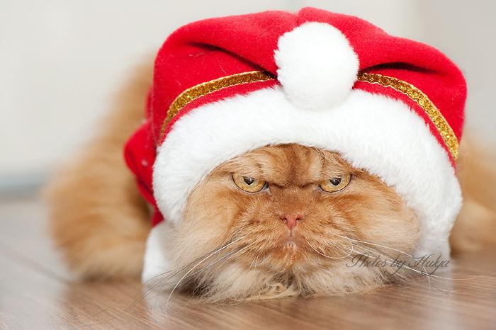 Garfi19 Гарфи, самый сердитый кот в мире