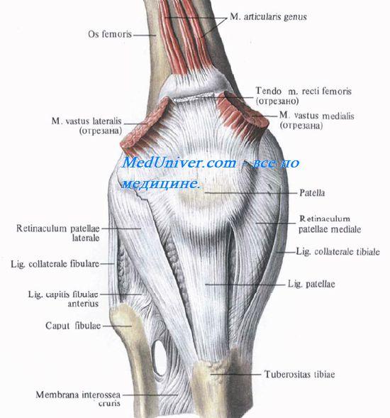 Внутрисуставные связки коленного сустава бад нойштадт на заале клиника по ортопедии тазобедренного сустава