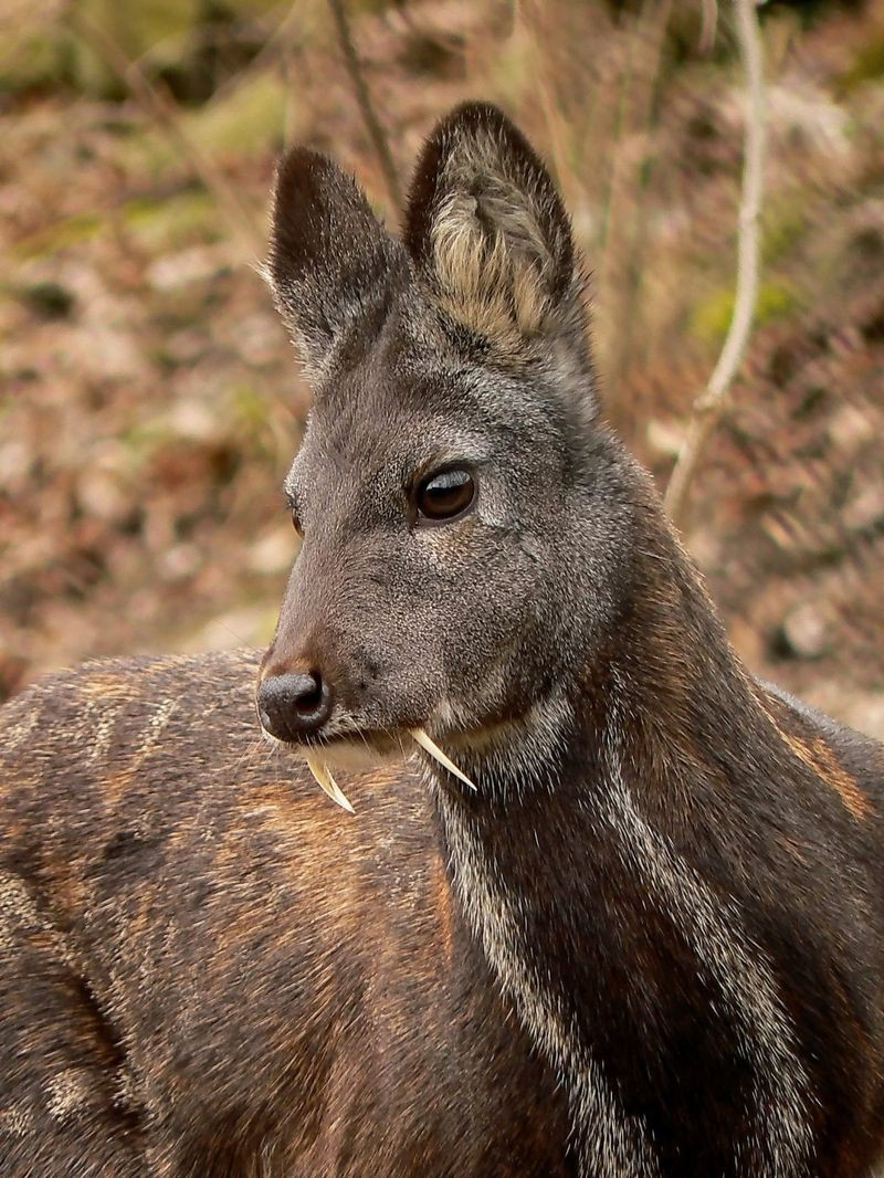 7. Кабарга или «олень-вампир» животные, миф