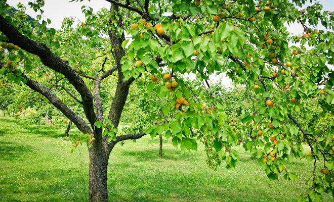 : Tree full with Apricots in a Garden