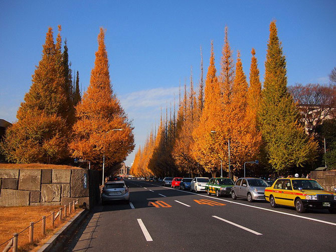 Изумительная красота древних деревьев: аллея гингко билоба в Токио