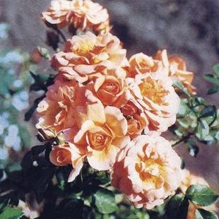 Клумбовая роза
