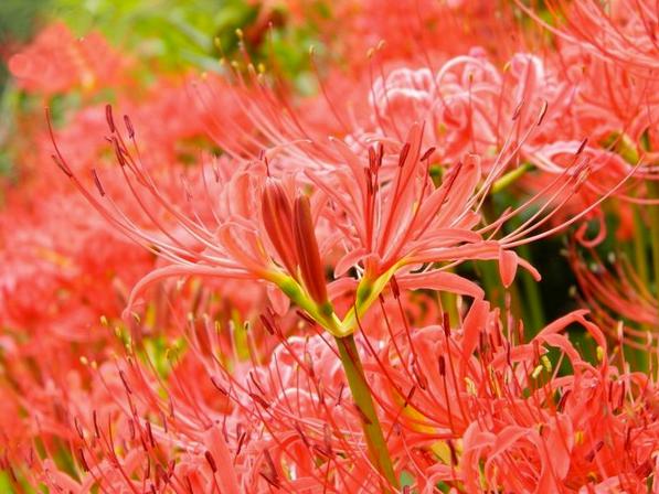 Ослепительное осеннее цветение ликориса (Красная паучья лилия)