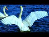 Лебедь (К. Сен-Санс)