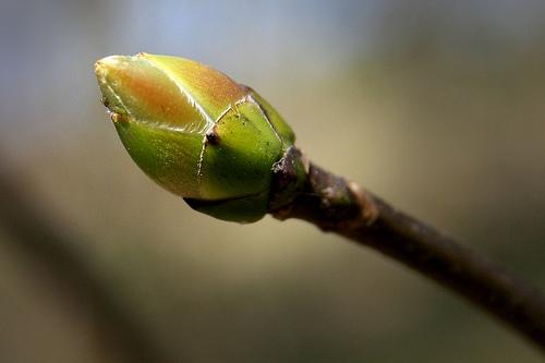 Сила весенних почек