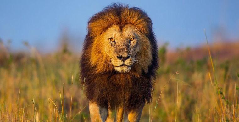 В крымском сафари-парке «ручной» лев залез в машину с туристами