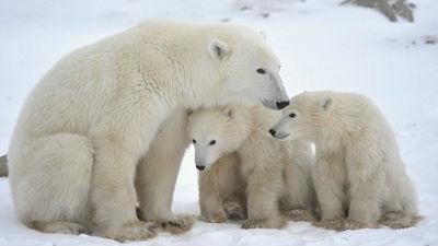 После убийства белой медведи…
